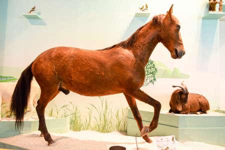 mongolia horse: Mongolia horse sample Editorial