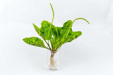 expectorant: Greater plantain