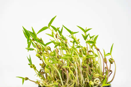 bean sprouts: green bean sprouts