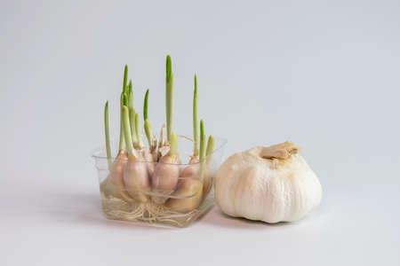 germinaci�n: Germination of garlic Foto de archivo