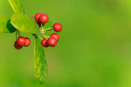 chinese holly: winterberry
