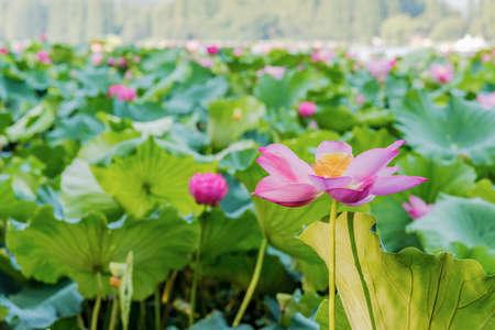 rhyme: West Lake Hangzhou lotus