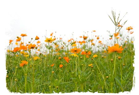 nurseries: Forest of orange flowerss isolated on white
