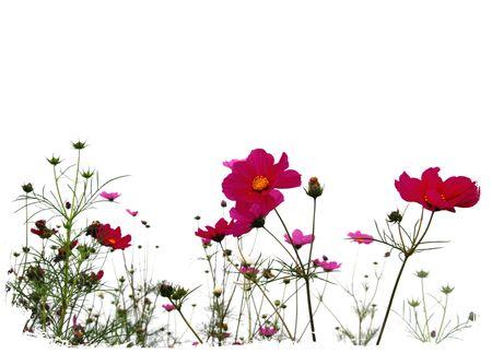 fleurs des champs: For�t de fleurs oranges isol�es sur blanc Banque d'images