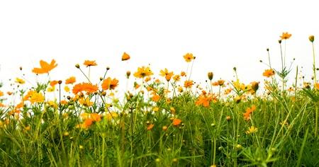 fleurs des champs: For�t de fleurs orange isol� sur fond blanc