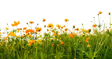 meadow: Forest of orange flowers isolated on white Stock Photo