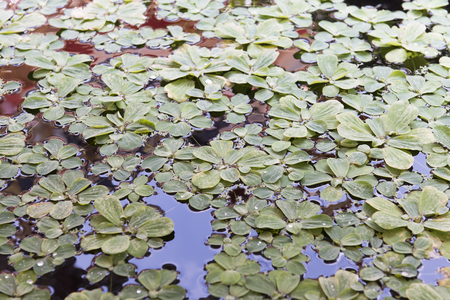 duckweed floating in the pond Stock Photo
