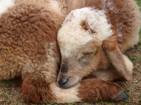 paschal lamb:  Brown Lamb is sleeping Stock Photo