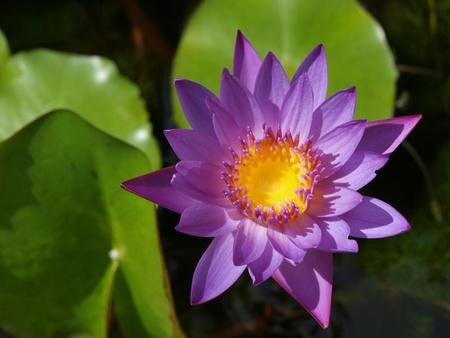 Purple waterlily     photo
