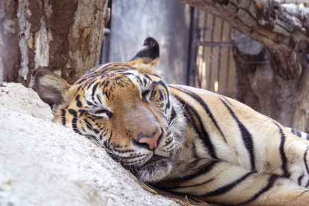 A portrait of sleeping Bengal tiger in the zoo.