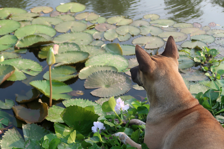 A brown dog laying by water lily pond.