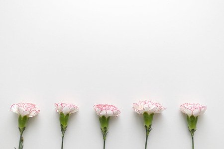 Top view of pink and white carnations in row on white background with copy space. Flat lay.