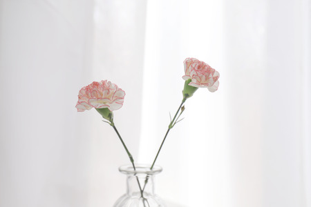 Two of carnation flowers in a glass vase. Фото со стока