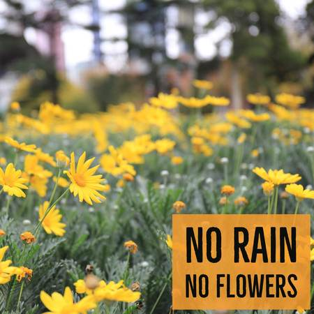 Inspirational motivational quote no rain no flowers with yellow flowers background.