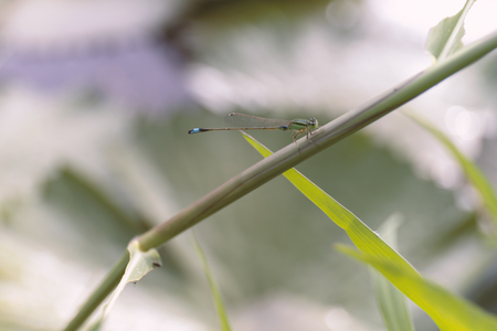 A dragonfly sitting on glass leaf above waterlily pond.