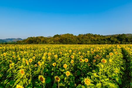 sunflowers in the field in summer Stock Photo