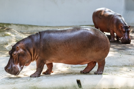 The hippopotamus is semi-aquatic, inhabiting rivers and lakes where territorial bulls preside over a stretch of river and groups of 5 to 30 females and young  photo