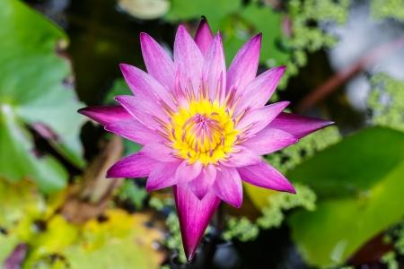 Pink lotus Banco de Imagens