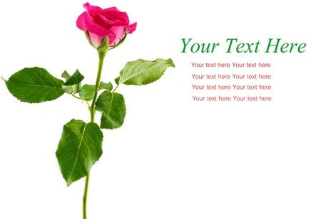beautiful rose gift card