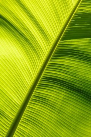 banana leaf background Stock Photo - 17440118