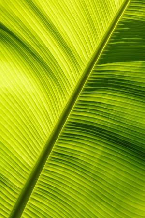 banana leaf background Stock Photo - 17440118