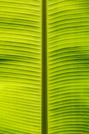 Fundo da folha de bananeira