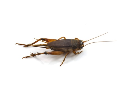 cricket insect: Field Cricket  Gryllus
