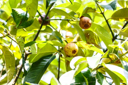linn: fresh mangosteen  Garcinia mangostana Linn   on tree in garden at Thailand