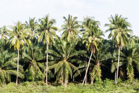 Coconut Palm Trees and Palm oil trees photo