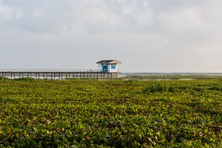 Water hyacinth at thalaynoi, phathalung province, south of thailand photo