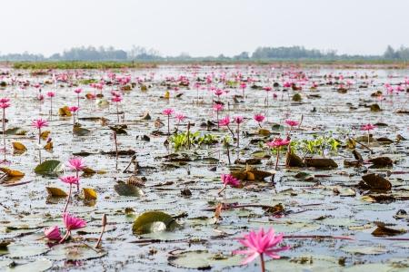 Lotus, zonas h