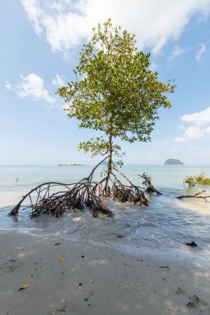 Mangrove at Rachmonkol Beach ,Trang, Thailand