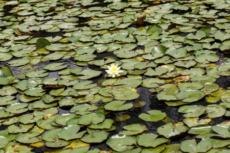 water lily lotus flower and leaves background