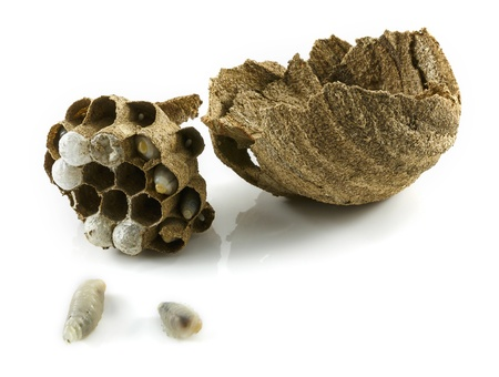 wasp nest with larva photo