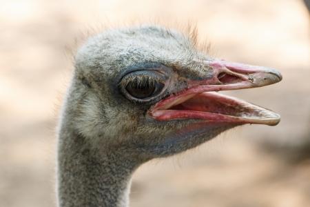 Ostrich head closeup photo