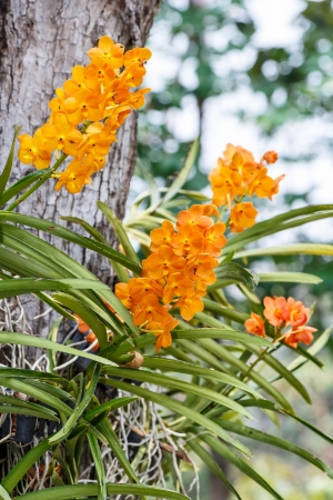 A miniature orchid with an attractive fan of leaves, Ascocentrum miniatum is no less than stunning when its cluster of brilliant orange flowers appears in spring  photo
