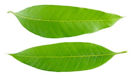 Folha manga verde isolado no fundo branco