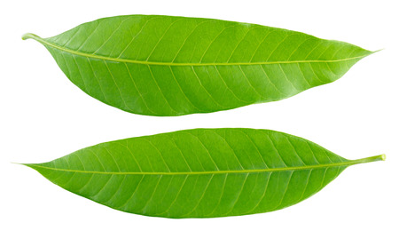 mango leaf: Green mango leaf isolated on white background