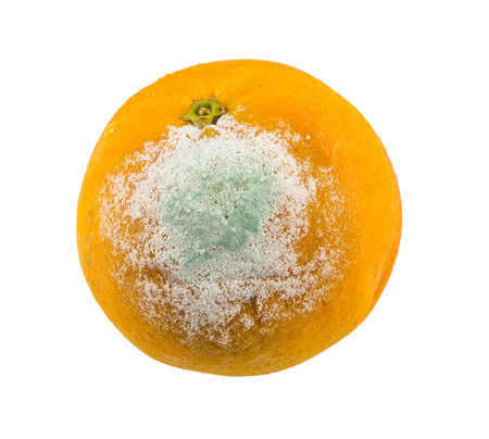 composting: rotten orange on white background Stock Photo
