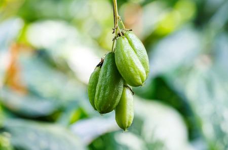 pius: Bilimbi (Averhoa bilimbi Linn.) or cucumber fruits on tree Stock Photo