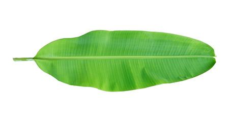 Young banana leaf on white background. Stock Photo