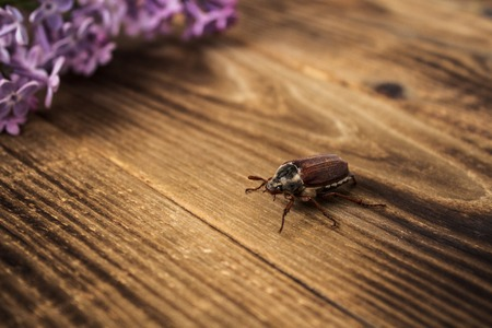 a cockchafer and lilac on wooden background