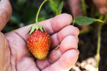 Strawberry on the bush in hand in garden