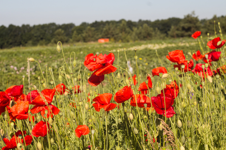 the Red poppies in the field summer