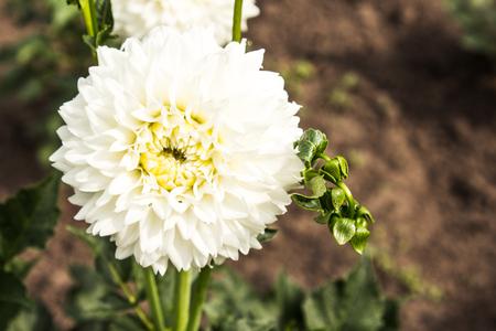 primula: white Summer flowers blossom in the garden