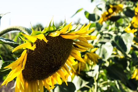 a sunflower growing on the field in summer