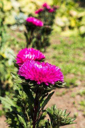 an autumn pink flowers in the garden