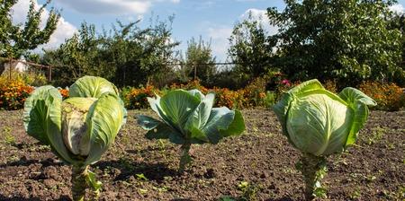 ripe cabbage heads in the garden Stok Fotoğraf