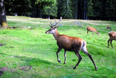 male deer runs in mountain landscape
