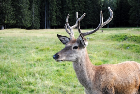 male deer  in mountain landscape Stock Photo